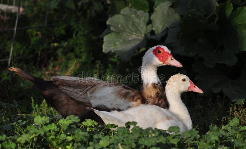 俄国鸭子&鸭子 库存照片