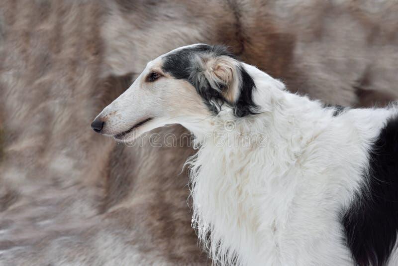 俄罗斯猎狼人画像 免版税库存图片