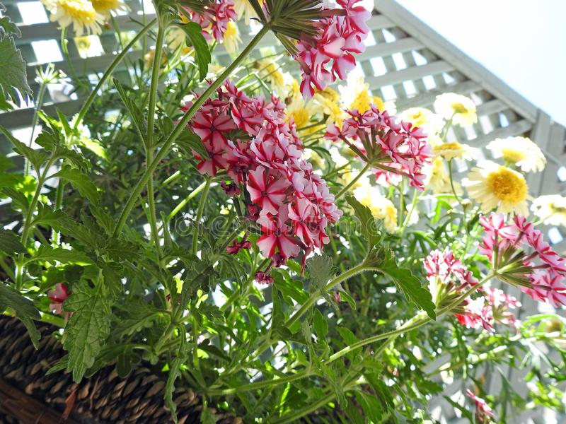 俏丽国家马鞭草属植物花卉生长在篮子 免版税图库摄影