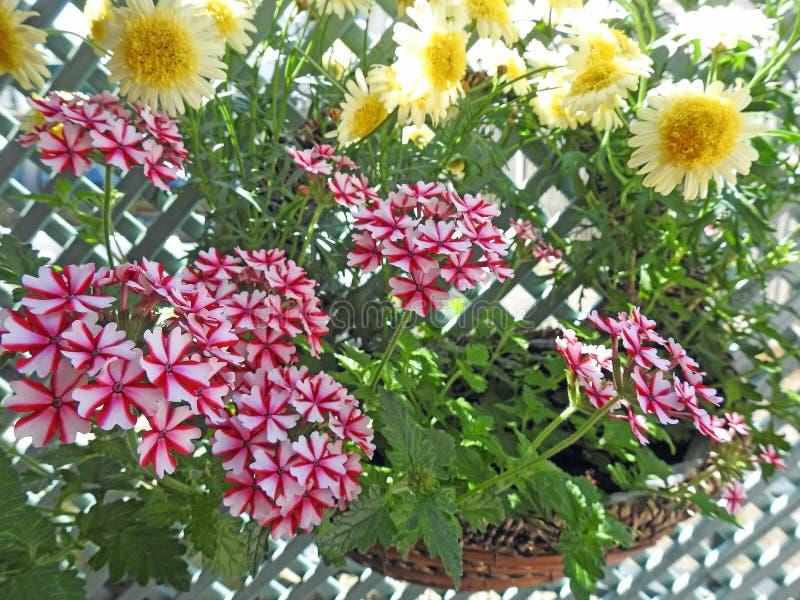俏丽国家马鞭草属植物花卉生长在篮子 免版税库存照片