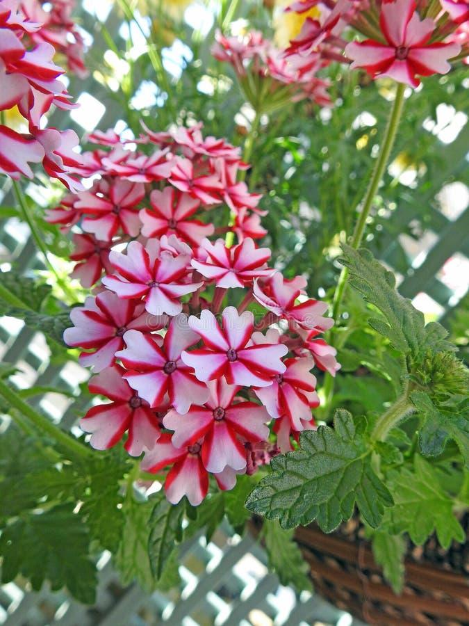 俏丽国家马鞭草属植物花卉生长在篮子 库存照片