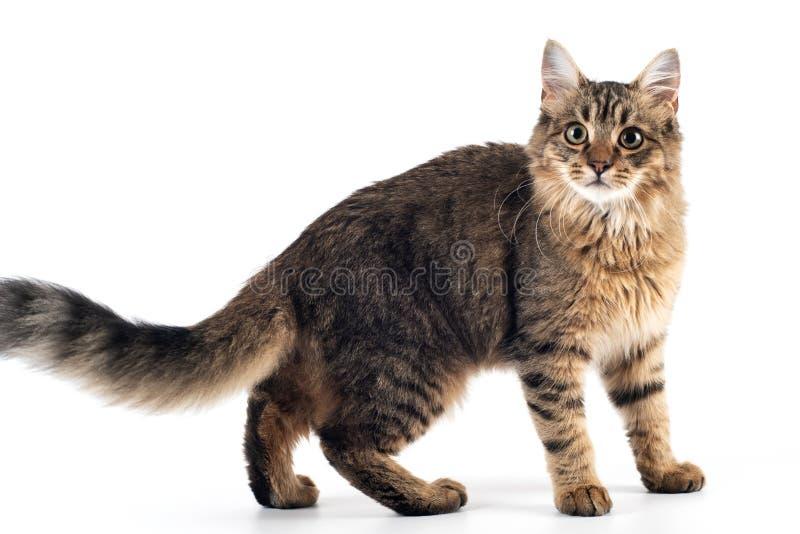 俏丽的在白色背景的猫混杂的品种 免版税图库摄影