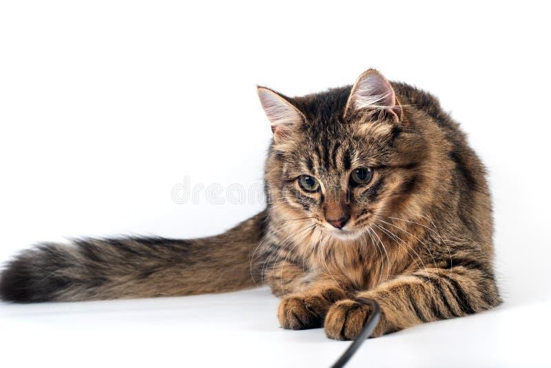 俏丽的在白色背景的猫混杂的品种 库存图片