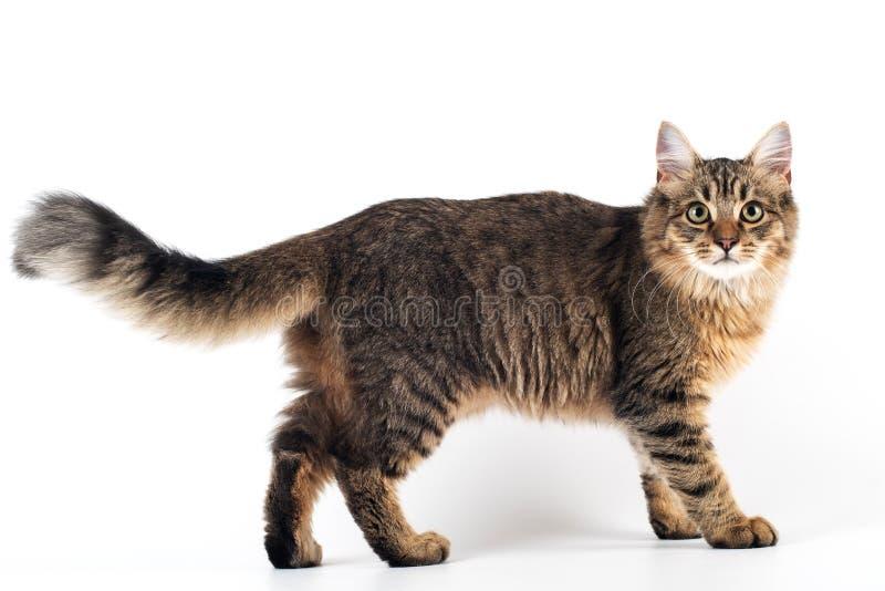 俏丽的在白色背景的猫混杂的品种 免版税库存图片