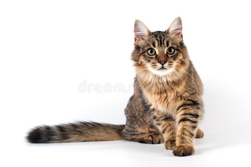 俏丽的在白色背景的猫混杂的品种 库存照片