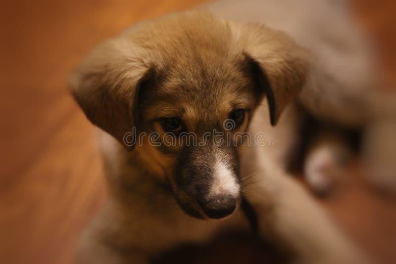 俏丽的小狗,糖果狗,蓬松 免版税库存照片