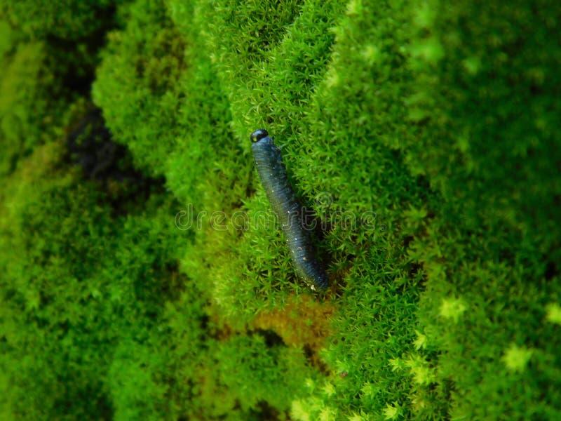 俏丽的毛虫对在青苔盖的岩石墙壁 免版税库存照片
