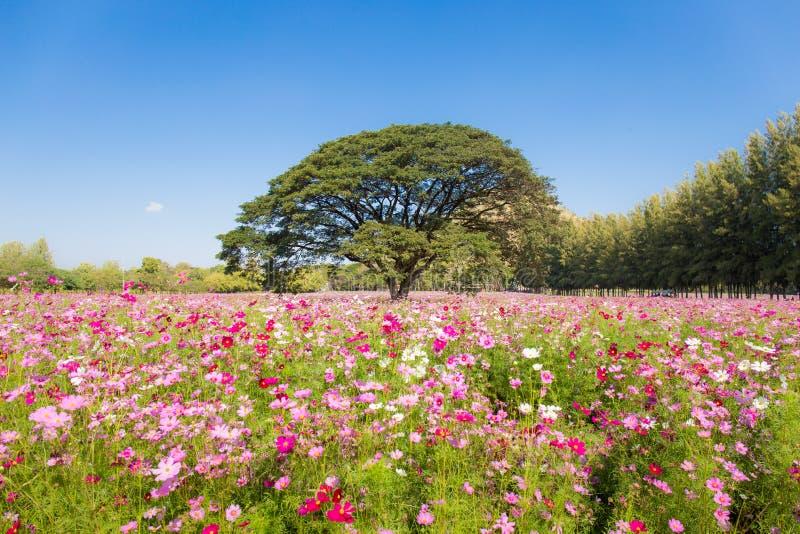 俏丽的波斯菊花和大树在庭院里 库存照片