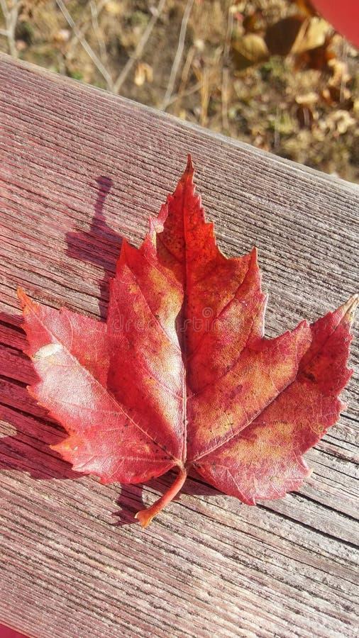 俏丽的秋天红色叶子 库存照片