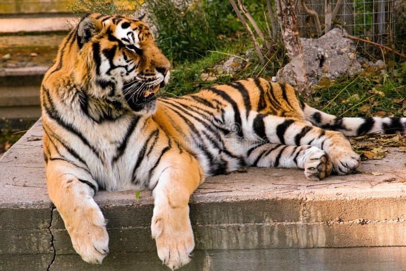 俏丽的老虎豹属基于水泥的底格里斯河在日落 库存图片