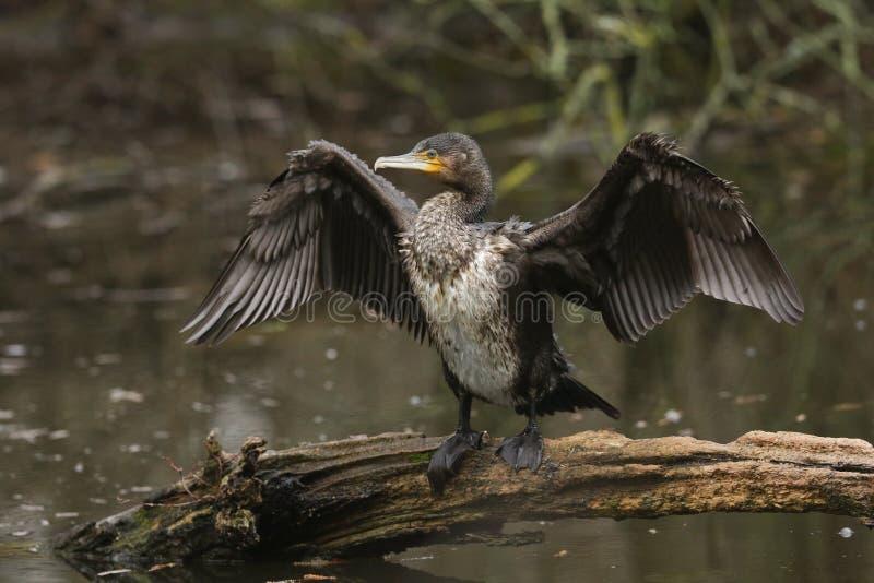 俏丽的鸬鹚,鸬鹚在注册的羰身分拍动它的翼的湖的中部在寻找以后在wate下 库存图片