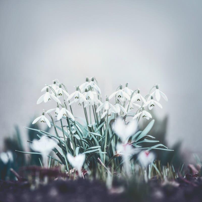 俏丽的snowdrops花,室外春天 免版税图库摄影