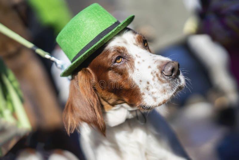俏丽,可爱的狗特写镜头画象在绿色爱尔兰帽子,圣帕特里克天假日的 StPatrick s天 免版税库存图片