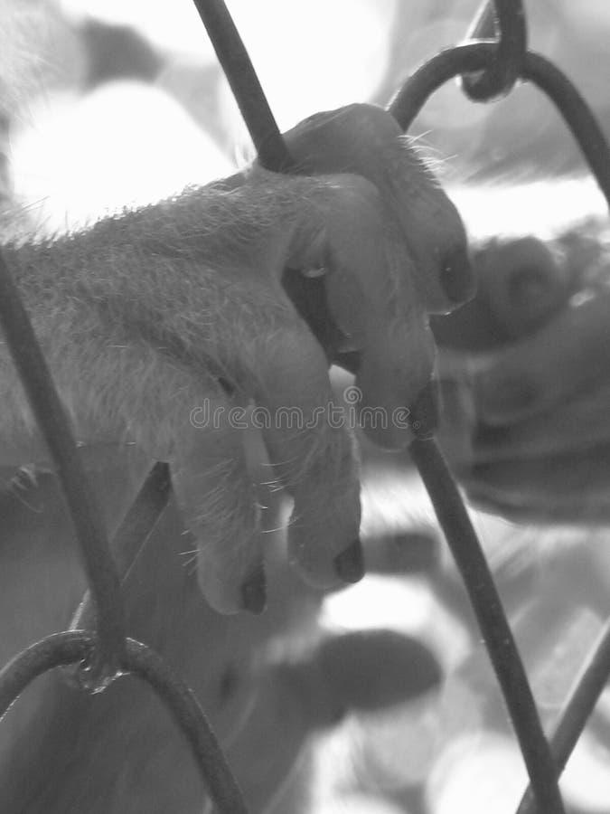 俘虏猴子 库存照片