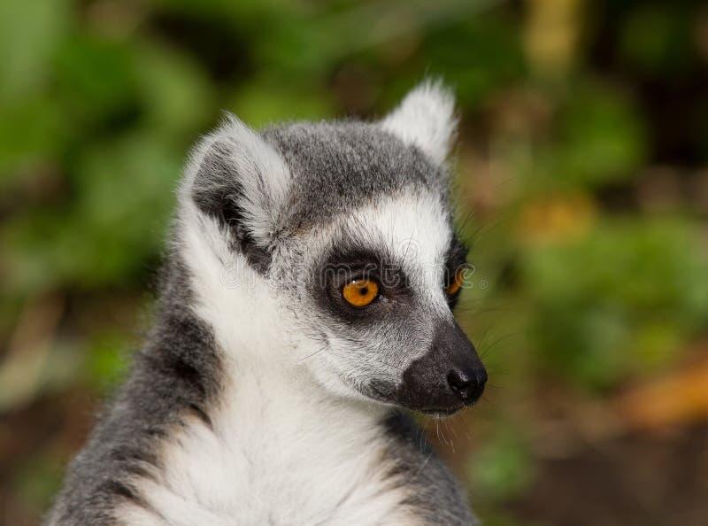 俘虏catta cincinatti辛辛那提狐猴俄亥俄纵向尾部有环纹的美国动物园 免版税库存照片