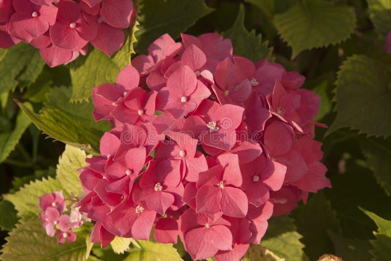 保加利亚绿叶枝上粉色绣球花 免版税库存照片