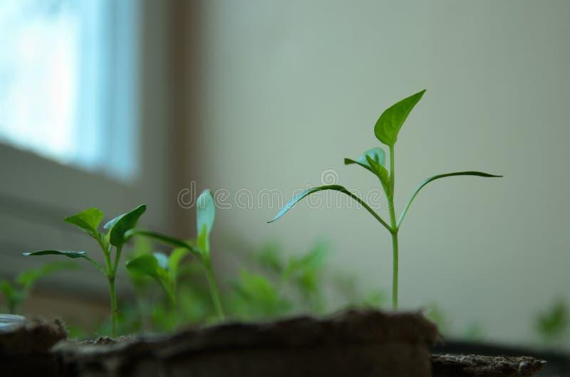 保加利亚胡椒小新芽在圆的泥煤罐的 免版税库存图片