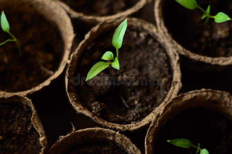 保加利亚胡椒小新芽在圆的泥煤罐的 库存图片