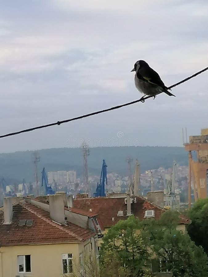保加利亚黑海山雀 免版税库存图片
