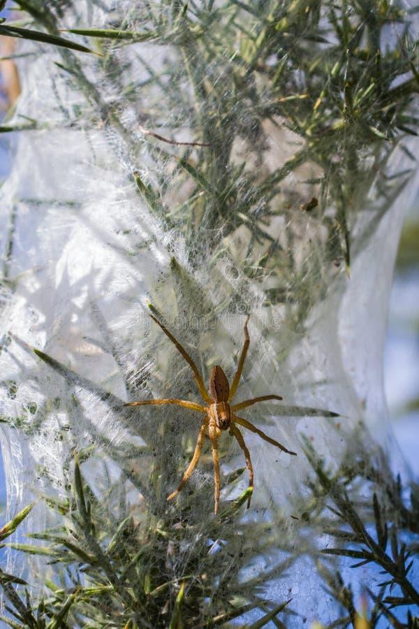 保护她的年轻人的母亲蜘蛛 免版税库存图片