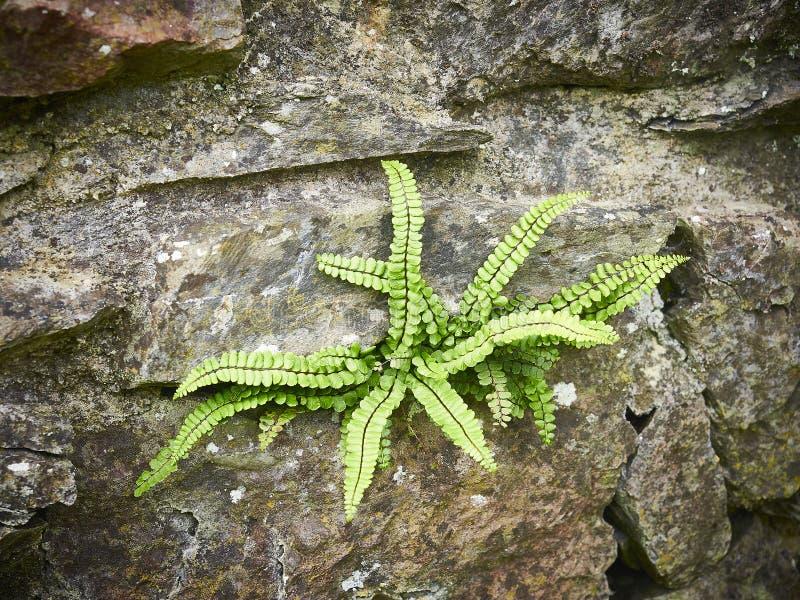 保持生存的岩石墙壁的蕨 库存图片