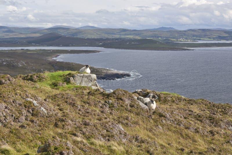 保留在海洋的爱尔兰绵羊手表 库存图片