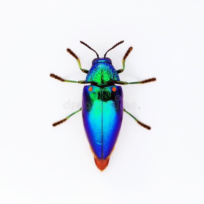 修宝石甲虫Sternocera aequisignata,金属木头乏味甲虫, Buprestid,在白色背景的Buprestidae 库存照片