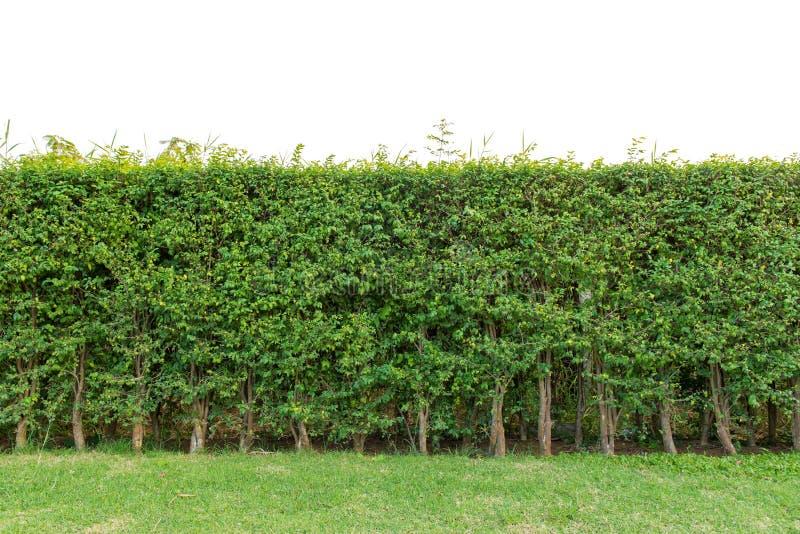 修筑树篱在白色背景或绿色叶子墙壁隔绝的篱芭 免版税库存图片