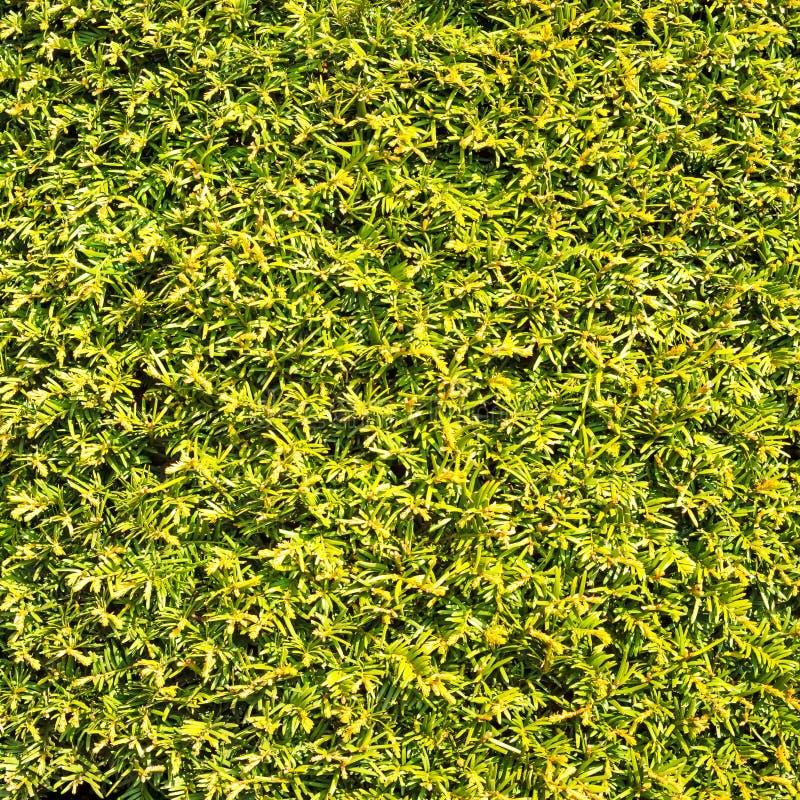 修筑树篱绿色叶子相似的草纹理背景墙壁 免版税库存照片