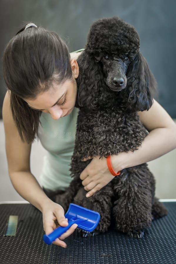 修饰在一个发廊的小犬座狗的 免版税库存照片