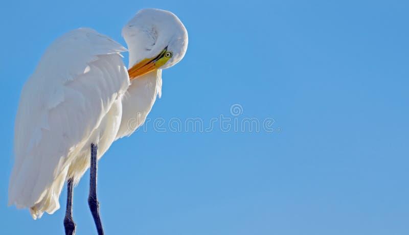 修饰在有被日光照射了前面和蓝色背景的翼下的伟大的白色白鹭与拷贝的室 库存照片