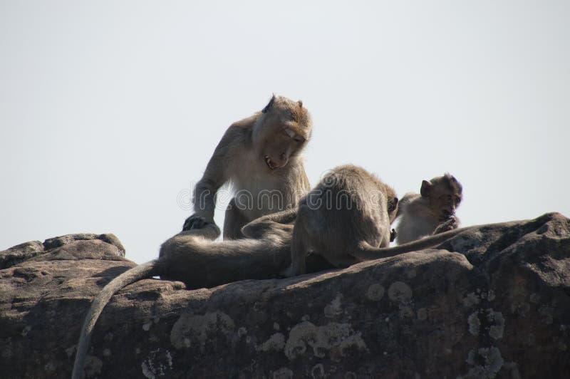 修饰在Preah Vihear寺庙复合体的猴子家庭  库存图片
