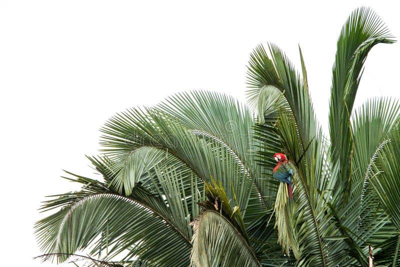 修饰它的在树的红和绿的金刚鹦鹉Ara chloropterus羽毛在Manu国立公园,秘鲁,美丽的鸟在亚马逊密林 免版税库存图片