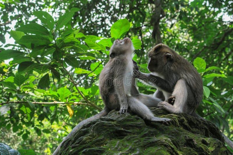 修饰猴子的猴子 库存图片