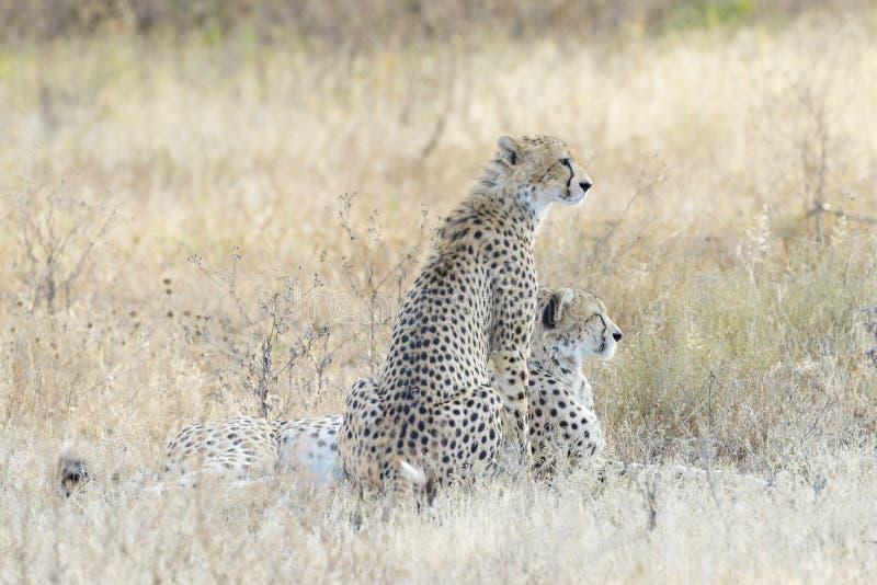 俯视平原的两头猎豹 图库摄影