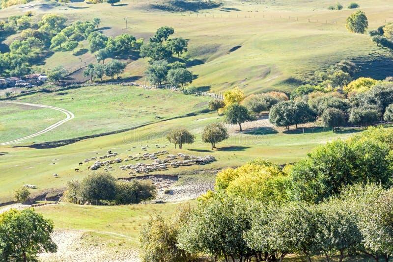 俯视的白桦和绵羊在山坡 库存图片