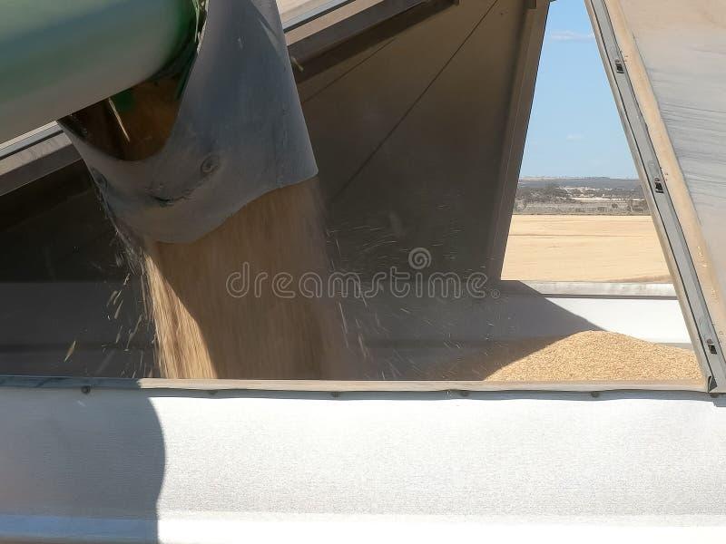 倒栽跳水倒空成熟大麦它的收获入在五谷农场的一个筒仓 图库摄影
