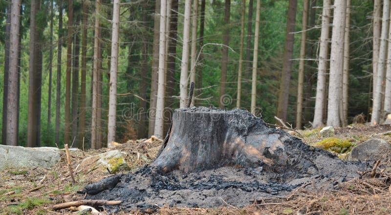 击倒的一棵大树的被烧焦的树桩,南波希米亚 库存图片