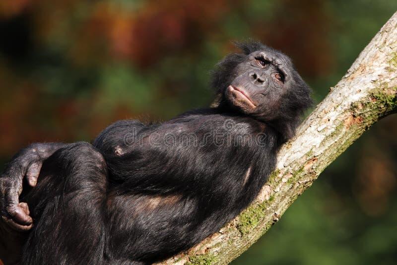 倭黑猩猩 图库摄影