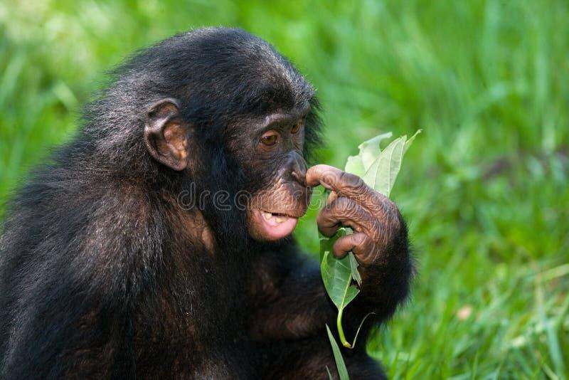 倭黑猩猩画象  特写镜头 刚果民主共和国 洛拉Ya倭黑猩猩国家公园 免版税图库摄影