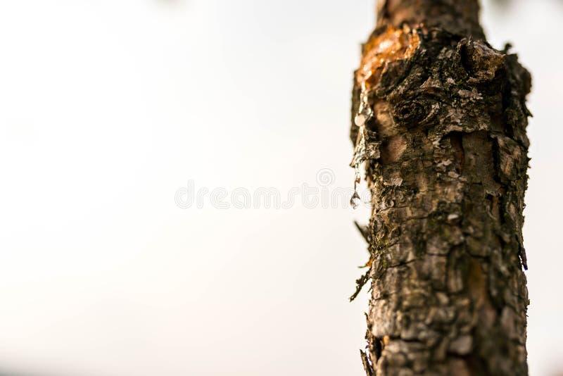 倾吐从受伤的松树的树脂下落 免版税库存照片