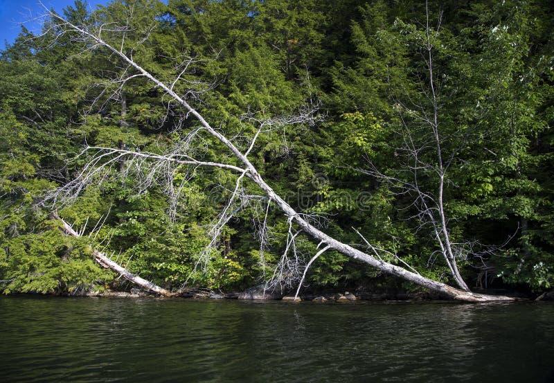 倾斜入湖水的树  免版税库存照片