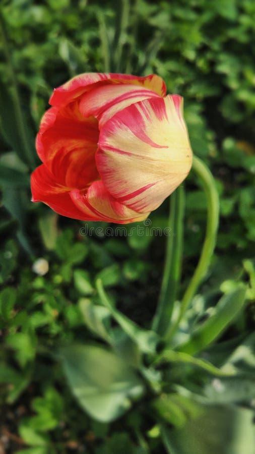 倾斜的桃红色黄色郁金香特写镜头在庭院里 免版税库存照片
