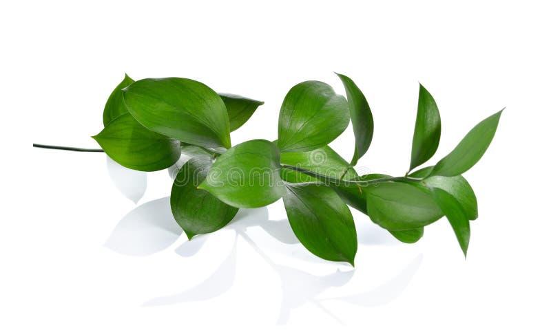 假叶树属,屠户的笤帚假叶树属aculeatus,卖花人叶子 免版税库存图片