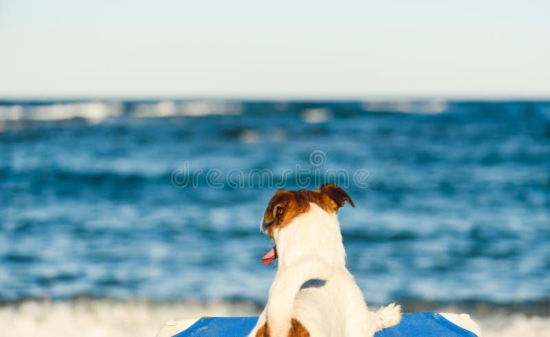 假期,宠物,海滩概念-在宠物友好的海滩的狗晒日光浴在deckchair和看海波浪的 免版税库存照片