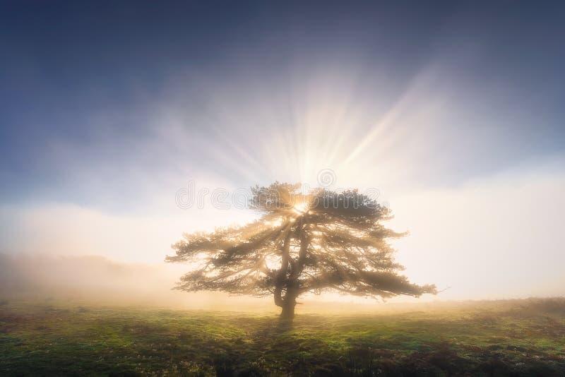 偏僻的树在与光芒的有雾的早晨 免版税库存图片