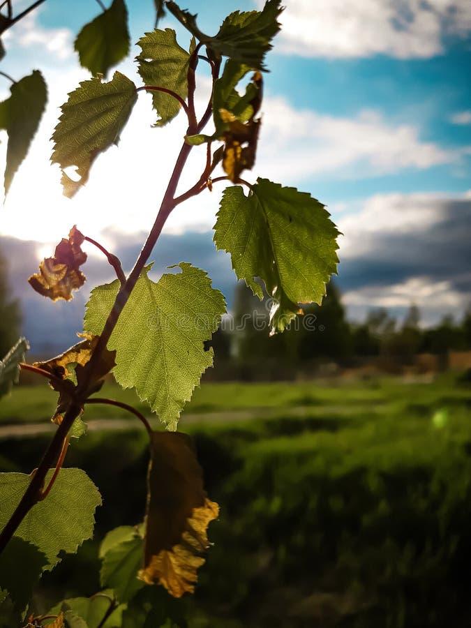 偏僻的桦树离开反对美丽的绿松石天空 免版税库存图片