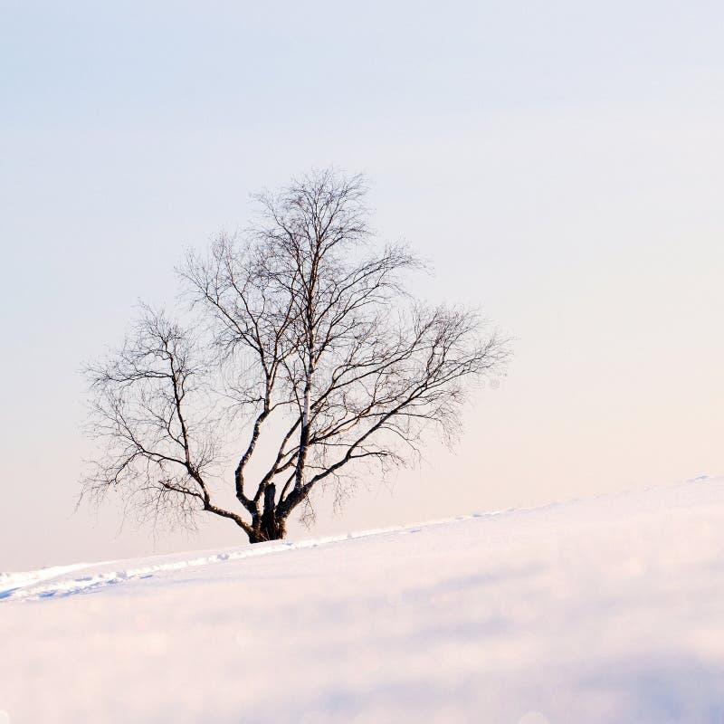 偏僻的桦树 免版税库存照片