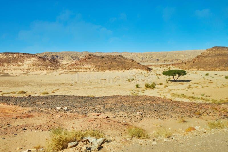 偏僻的金合欢树在西奈沙漠,埃及 库存照片