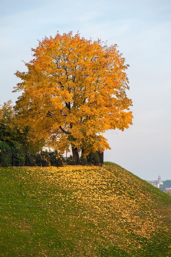 偏僻的黄色树,树用黄色叶子盖 大秋天树 庄严光 E 秋天是 免版税图库摄影